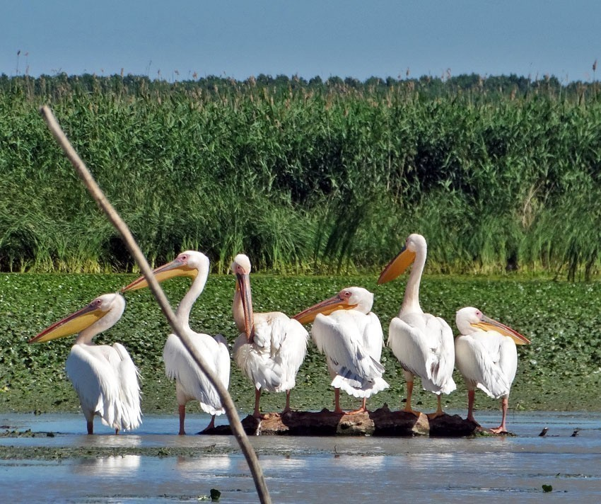 White pelicans (pelecanus onocrotalus) in the Danube Delta | 5 Reasons Why Romania is the Country Every Traveler Needs to Visit
